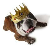 Bulldogge in a crown