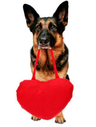 Deutsche shepherd holding a heart pillow in his mouth